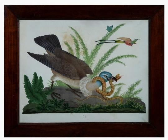Raineri-avvoltoio-serpente-Giglio